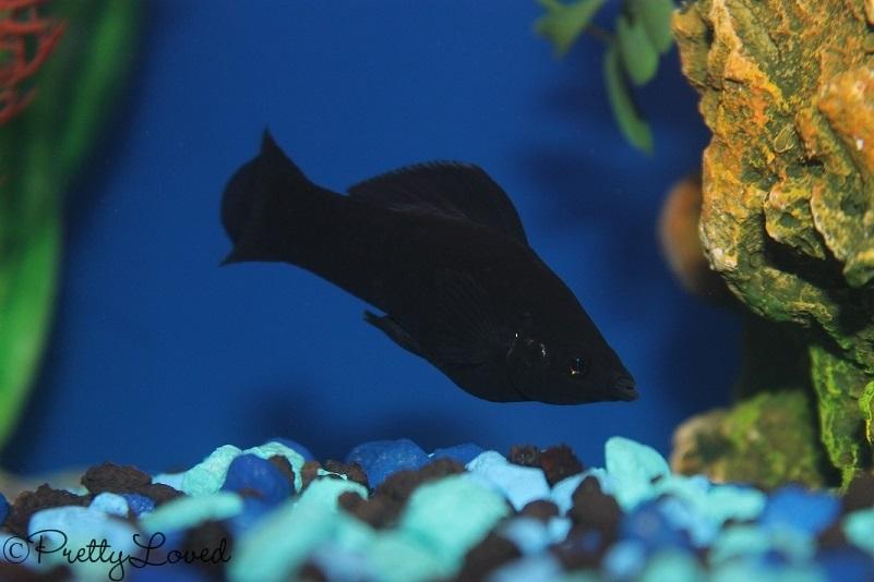 black molly1